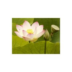Blooming Water Lotuses Carpet Echo Park Lake Photographic Wall Art... ($26) ❤ liked on Polyvore featuring home, home decor, wall art, floral & botanical, floral & botanical by type, flowers, flowers by species, lilies, subjects and water lilies