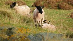 Sheep At Northam Burrows