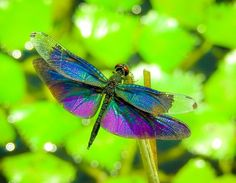 Dragonfly : Butterfly Skimmer Photo by Yoshitaka Aida — National Geographic Your Shot