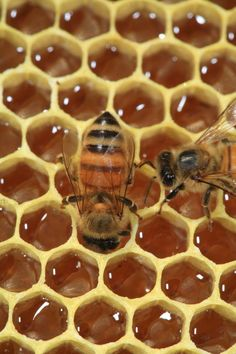 A bee gorges itself with honey on a wax frame with cells full of nectar.  Nature producing beauty.