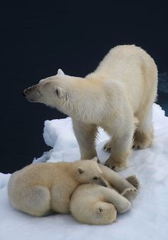 Two six-month old Polar Bear cubs and their mother on a tiny melting iceberg in…