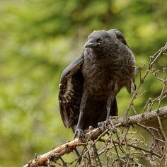 crow`s nestling by Artem Kreo on 500px