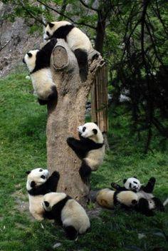 Panda party!