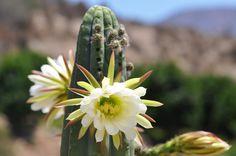 Floración del cactus San Pedro.