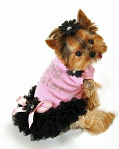 1000+ images about Yorkies on Pinterest | Yorkie, Yorkie ...