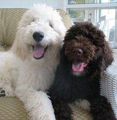 Goldendoodle Puppies by Moss Creek Goldendoodles in Florida. Moss Creek Goldendoodles is a premium home breeder of English Goldendoodle Puppies located in Sunny Central Florida. We Sell our Puppies Nationwide. Chien Goldendoodle, English Goldendoodle, Goldendoodle Puppy For Sale, Cockapoo Puppies, Poodle Puppies, Cute Dogs And Puppies, I Love Dogs, Pet Dogs, Dog Cat