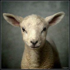 Google Image Result for http://cdn.oddstuffmagazine.com/wp-content/uploads/2012/09/Fuzzy-Little-Lamb-8.jpg