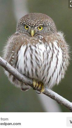 Owl. theslicedpan.com