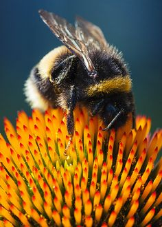 Bubble Bee on Echinacea Primadonna Purpurea Coneflower | Flickr - Photo Sharing!