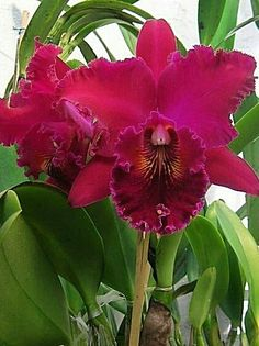 Orchid Varieties, Red Orchids, Cattleya Orchid, Beautiful Flowers Wallpapers, Cloth Flowers, Orchid Care, Plant Pictures, Flowers Nature, Flower Wallpaper
