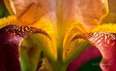 Schwertlilie by K&S Fotografie            Die an Arten umfangreiche Gattung wurde nach der griechischen Göttin des Regenbogens (Iris) benannt. Die Iris-Arten werden wegen ihrer schönen und auffälligen Blüten als Zierpflanzen geschätzt. Schwertlilien sind trotz ihres Namens nur entfernt mit Lilien verwandt.The genus of species was named after the Greek goddess of the rainbow (iris). The iris species are appreciated as ornamental plants because of their beautiful and conspicuous flowers. In…