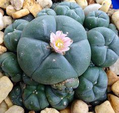 LOPHOPHORA WILLIAMSII Cacti And Succulents, Planting Succulents, Cactus Plants, Garden Plants, House Plants, Cool Plants, Air Plants, Cactus Names, Plant Crafts
