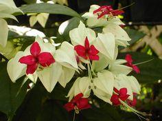 Clerodendrum thomsoniae White Bleeding Heart pint Plant