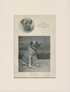 MASTIFF OLD ANTIQUE 1912 DOG PRINT by ARTHUR WARDLE READY MOUNTED
