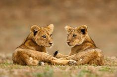 Heb je je ooit afgevraagd wat er met wilde, jonge leeuwen gebeurt die dagelijks in contact komen met mensen? www.knuffelfarms.nl (foto: Marsel van Oosten)