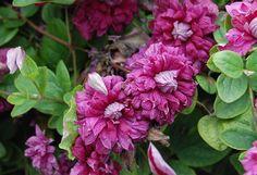 Italian Leather Flower, Purple Clematis 'Purpurea Plena Elegens' (Clematis viticella)