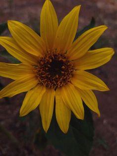 Just a sun flower.