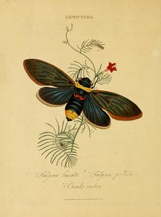 An epitome of the natural history of the insects of India. Biodiversity Heritage Library via Flickr