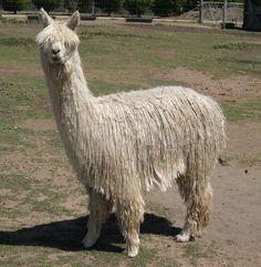 Suri alpaca: read more alpaca facts at LoveKnitting
