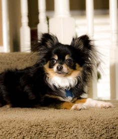 10 Cool Facts About Chihuahuas