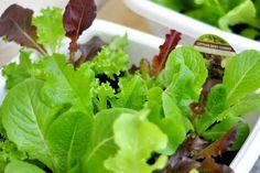 Veja aqui como plantar alface em casa. Nossa consultora te ensina o passo a passo: é super fácil! Comment Planter, Market Garden, Plant Pictures, My Secret Garden, Green Life, Herbal Medicine, Fruits And Vegetables, Lettuce, Vegetable Garden