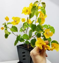 Bougainvillea 'California Gold' - Everblooming Houseplants Flowering House Plants, Air Layering, Mother Plant, Peat Moss, Bougainvillea, Types Of Soil, Potting Soil, Grow Lights, Orange Flowers