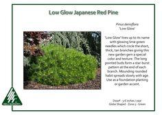 Pinus-densiflora-LowGlow