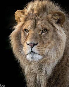 Gorgeous Lion - Gross- und Wildkatzen - Welcome Haar Design Lion Images, Lion Pictures, Animal Pictures, Animals Photos, Majestic Animals, Animals Beautiful, Nature Animals, Animals And Pets, Lion Photography