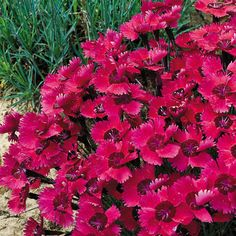 Ruby Sparkles Dianthus Garden Pink Plant -- evergreen, full sun, fragrant, long-blooming