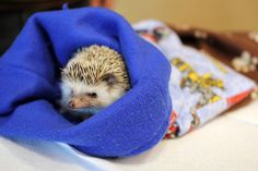 Hedgehogs feel safest when they're inside their hedgie bags.   40 Things We Learned At The Hedgehog Convention