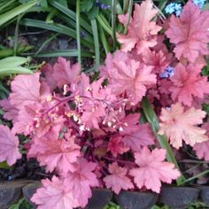 Specialist Growers of Heucheras, Heucherella, Tiarella, Hardy Perennials and many new and unusual plants Beautiful Flowers, Heuchera, Plants, Garden Gifts, Flowers Nature, Foliage Plants, Autumn Garden, Unusual Plants, Shade Plants