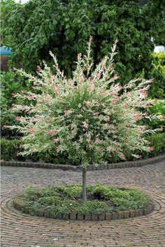 Willow Salix Flamingo or Dappled Willow - growth habits listed on post.[Salix integra 'Flamingo', commonly known as Dappled Willow, Garden Shrubs, Garden Trees, Trees And Shrubs, Trees To Plant, Dwarf Flowering Trees, Dwarf Trees, Dappled Willow Tree, Outdoor Plants, Outdoor Gardens