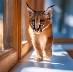JN caracal01 13 Facts about The Cutest Species  Caracal Cat