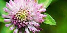 Was die wenigsten wissen: Rosen, Geranien und Gänseblümchen sehen nicht nur schön aus, sie helfen auch gegen Wechseljahresbeschwerden und Depressionen.