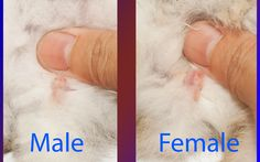 How to Determine the Gender of a Rabbit -- via wikiHow.com