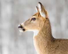 whitetail in profile