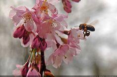 Abeille ouvrière - Une petite abeille butinant les  fleurs d'un cerisier.
