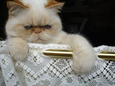 list of cat breeds with pictures | Cute Cats Pictures