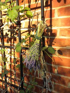 Harvesting lavender.