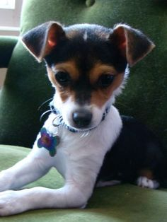 Terrier Mix Jack Chi (Jack Russell Terrier x Chihuahua Mix) Info, Temperament, Pictures Rat Terriers, Bull Terrier Dog, Terrier Mix, I Love Dogs, Cute Dogs, Jack Russell Terrier, Jack Russell Mix, Dogs And Puppies, Dogs 101
