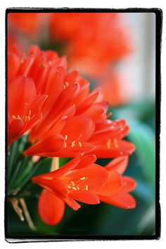 Red Lily  DDD    CopyrightⓒNAKIzm