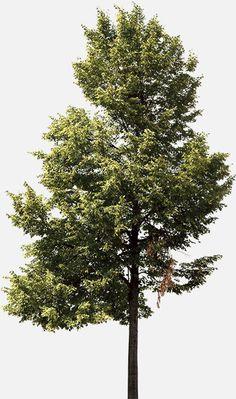 Neubau / Neubau Forst Catalogue / Tree E5-S / Photography / 2014 Landscape Architecture, Landscape Design, Tree Psd, Tree Photoshop, Forest Drawing, Plants Are Friends, Tree Care, Nature Plants, Plant Illustration