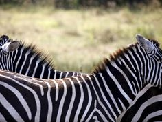 Zebra Stripes Might Not Be Camouflage The animals' distinctive appearance is still a beautiful mystery