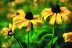 Rudbeckia hirta  Common name: Black-eyed Susan   Family: Asteraceae  Height: 1 - 3.5 feet  Spreads: None  Sun Exposure: Full Sun, Partial Sun  Soil Texture: Clay, Loamy  Soil Moisture: Dry, Moist  pH: 6 - 7  Blooms in: June to October  Bloom Color: yellow, black eye  Bears Fruit: None  Fruit Type: capsule  Evergreen: no  Ground Cover: no  Habitat:   fields, meadows, and roadsides  Wildlife Use: Butterflies, Song Birds, Insects, Bees