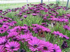 Vivers Barri | Osteospermum ecklonis