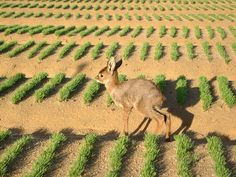 Young deer in the Rooibos nursery