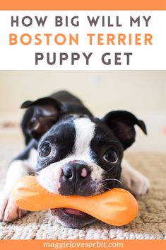 Your Boston Terrier Puppy is growing fast, and their weight is constantly changing. You can find an idea of how much your puppy will grow by the following breeder estimates.