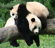 Sweet Panda Dreams by somesai Cute Funny Animals, Cute Baby Animals, Animals And Pets, Beautiful Creatures, Animals Beautiful, Panda's Dream, Baby Panda Bears, Cute Panda, Panda Panda