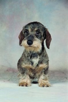 Wire-Haired Dachshund Grooming Styles & Pets Wire-Haired Dachshund Grooming Styles Source by Dachshund Breed, Long Haired Dachshund, Dachshund Love, Doxie Puppies, Daschund, Fox Terriers, Animals And Pets, Cute Animals, Clever Dog