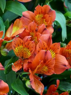 Alstroemeria Flame. Fantastic speckled petals give this plant a real wow-factor. Alstroemeria are great as cut flowers too.